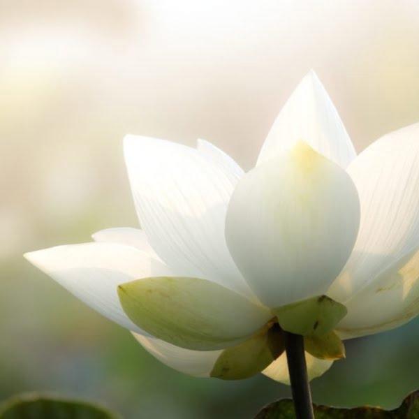 lotus-600-600